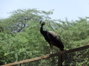 National bird of India posing for the camera